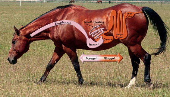 Horse Foregut And How A Prebiotic Can Help Reduce Risk