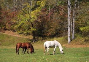 Fall pastures can increase the risk of laminitis and colic.